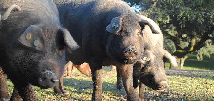 Las enfermedades más comunes en cerdos
