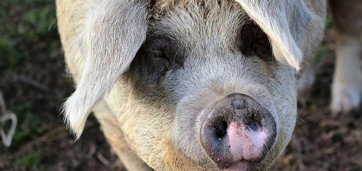 enfermedades-en-cerdos-2