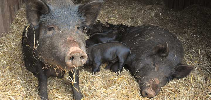 enfermedades-en-cerdos-3