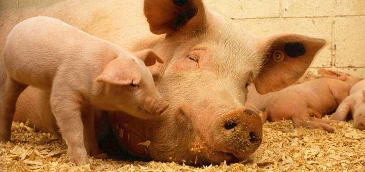 ¿Qué es la epidermitis exudativa porcina?