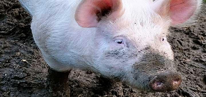 evitar-epidermitis-exudativa-porcina