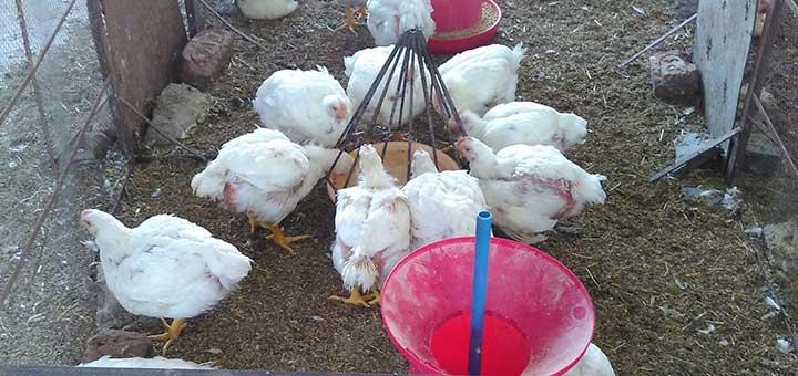 pollo-broiler-alimentacion.jpg
