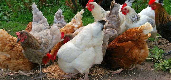 ¿Qué se necesita para iniciar la producción de pollo broiler?