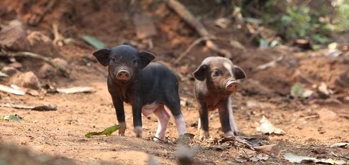 Crianza de cerdos: ¿por qué revisar el peso de los lechones durante el destete?