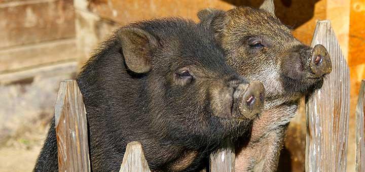 Cómo dedicarse a la crianza de cerdos