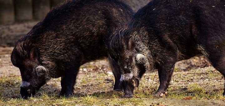 erisipela-porcina-3