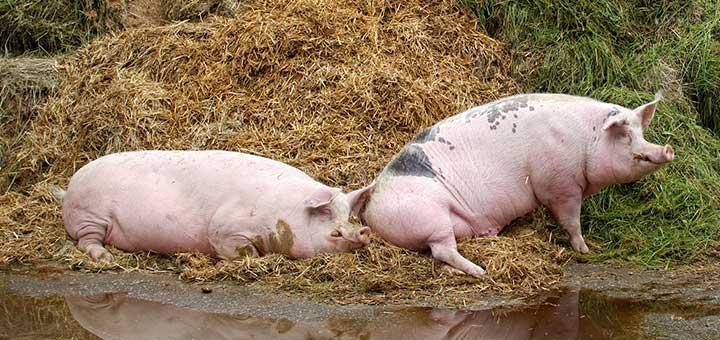 erisipela-porcina-4