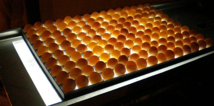 ¿Cómo realizar la ovoscopia en los huevos de aves de corral?
