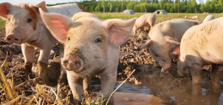 cerdos-bioseguridad