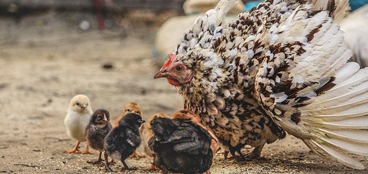 gripe-aviar-00.jpg