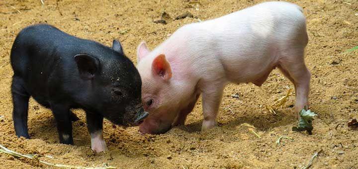 Datos importantes sobre el Virus de la influenza porcina (SIV)