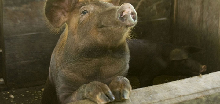 neumonia-en-cerdos