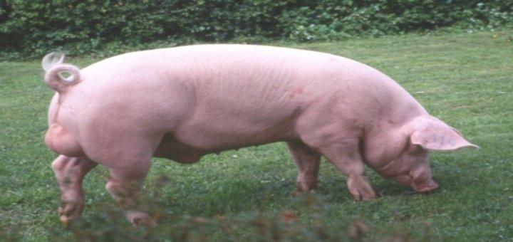 cerdo-calor-1