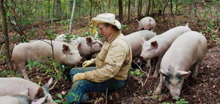 Cómo afecta el estrés calórico a los cerdos