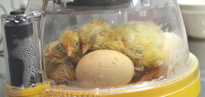 incubadora.jpg