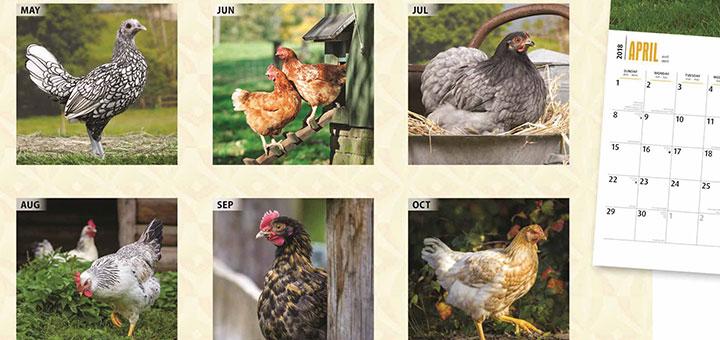 pollo-engorder-calendario