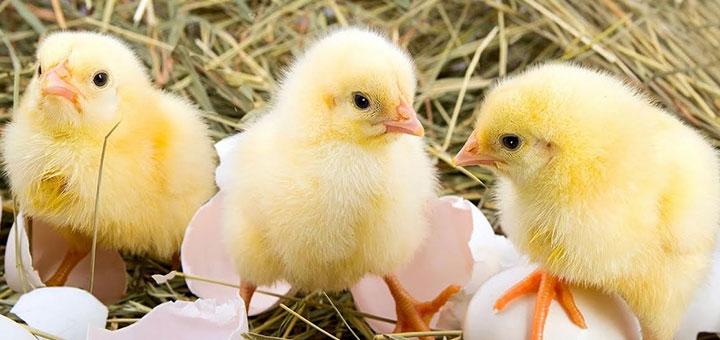 10 consejos para la crianza de pollos de engorde