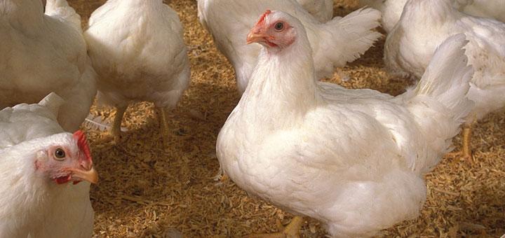pollos-saludables
