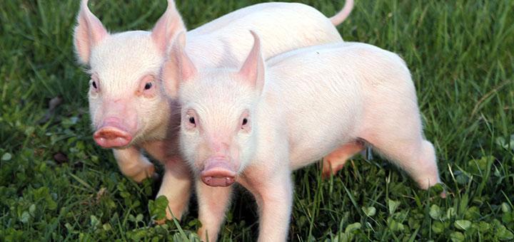 Descubre cómo funcionan las enzimas digestivas para cerdos