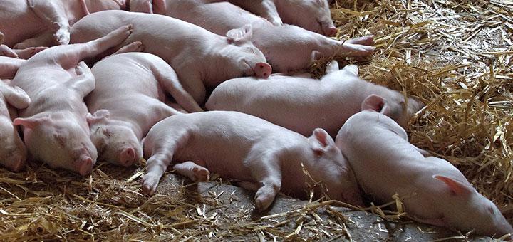 enzimas-digestivas-cerdos