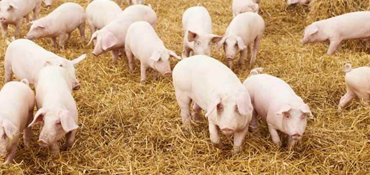 Neumonía micoplásmica en cerdos
