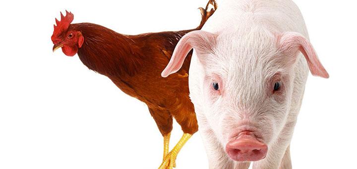 pasteurelosis-aves-cerdos