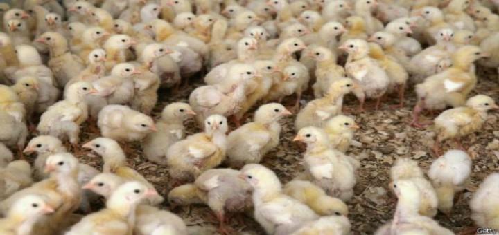 Factores de estrés que afectan a los animales involucrados en la producción pecuaria