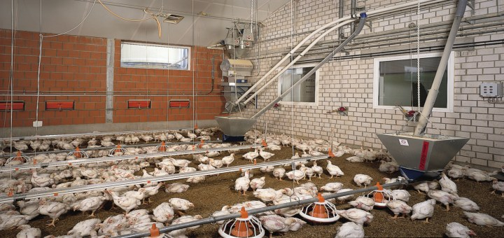 galpones-pollos-broiler