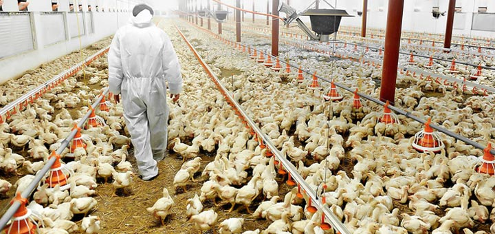 Deficiencia de vitamina E en las aves de corral